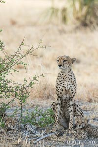 Cheetah, Meru National Park, Acinonyx jubatus