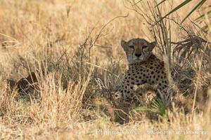 Cheetah, Meru National Park. Meru National Park, Kenya, Acinonyx jubatus, natural history stock photograph, photo id 29623