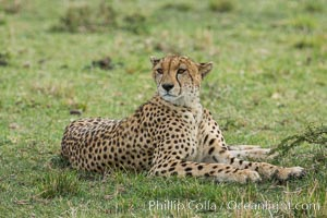 Cheetah, Olare Orok Conservancy. Olare Orok Conservancy, Kenya, Acinonyx jubatus, natural history stock photograph, photo id 29979