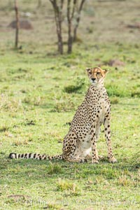 Cheetah, Olare Orok Conservancy. Olare Orok Conservancy, Kenya, Acinonyx jubatus, natural history stock photograph, photo id 29980