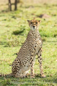 Cheetah, Olare Orok Conservancy. Olare Orok Conservancy, Kenya, Acinonyx jubatus, natural history stock photograph, photo id 29981