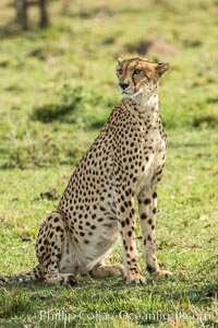 Cheetah, Olare Orok Conservancy. Olare Orok Conservancy, Kenya, Acinonyx jubatus, natural history stock photograph, photo id 29983