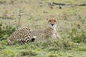 Cheetah, Olare Orok Conservancy. Olare Orok Conservancy, Kenya, Acinonyx jubatus, natural history stock photograph, photo id 29986