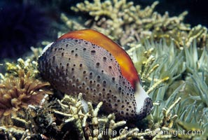 Chestnut cowrie with mantle extended, feather duster worm, Cypraea spadicea, Eudistylia polymorpha, Santa Cruz Island