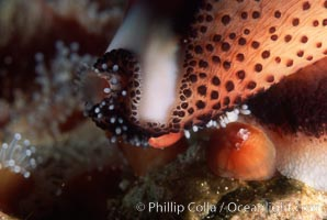 Chestnut cowry, mantle exposed. San Miguel Island, California, USA, Cypraea spadicea, natural history stock photograph, photo id 05385