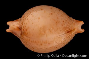 Chick-pea Cowrie, Cypraea cicercula