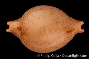Chick-pea Cowrie, Cypraea cicercula