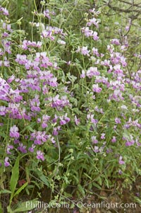 Chinese houses bloom in spring, Lake Elsinore, Collinsia heterophylla