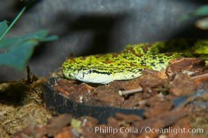 Chinese mountain viper, Protobothrops jerdoni