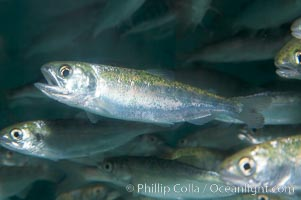 Chinook salmon (or King salmon), juvenile, 1 year old, raised in a tank for eventual release into the wild.  This fish will live to about 5 or 6 years before returning to the stream in which it was hatched to spawn and die, Oncorhynchus tshawytscha