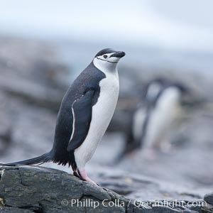 Chinstrap penguin, Pygoscelis antarcticus, Shingle Cove, Coronation Island, South Orkney Islands, Southern Ocean