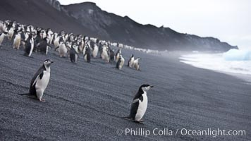 Chinstrap penguins at Bailey Head, Deception Island.  Chinstrap penguins enter and exit the surf on the black sand beach at Bailey Head on Deception Island.  Bailey Head is home to one of the largest colonies of chinstrap penguins in the world. Deception Island, Antarctic Peninsula, Antarctica, Pygoscelis antarcticus, natural history stock photograph, photo id 25461