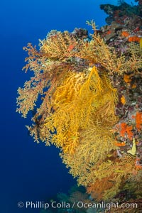 Colorful Chironephthya soft coral coloniea in Fiji, hanging off wall, resembling sea fans or gorgonians, Chironephthya, Vatu I Ra Passage, Bligh Waters, Viti Levu  Island