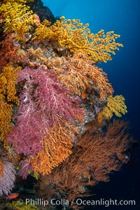 Colorful Chironephthya soft coral coloniea in Fiji, hanging off wall, resembling sea fans or gorgonians, Vatu I Ra Passage, Bligh Waters, Viti Levu Island