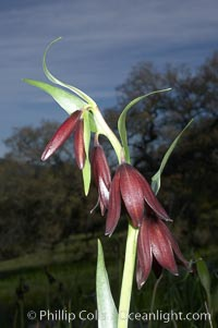 Chocolate lily bloom close-up, Fritillaria biflora, Santa Rosa Plateau Ecological Reserve, Murrieta, California
