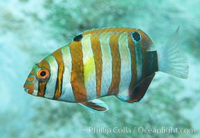Harlequin tuskfish, juvenile, Choerodon fasciatus