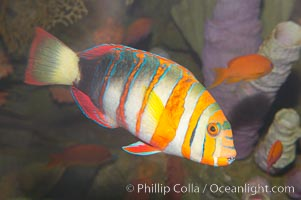 Harlequin tuskfish, Choerodon fasciatus