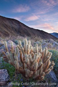 Cholla cactus, sunrise, dawn, Palm Canyon, Anza-Borrego Desert State Park. Anza-Borrego Desert State Park, Borrego Springs, California, USA, Opuntia, natural history stock photograph, photo id 24305