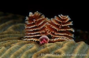 Christmas tree worm (annelid), Spirobranchus, Roatan