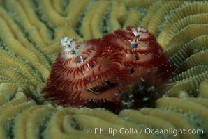 Christmas tree worm (annelid), Spirobranchus sp., Roatan, copyright Phillip Colla Natural History Photography, www.oceanlight.com, image #02538, all rights reserved worldwide.