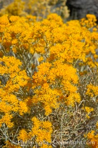 Rabbitbrush. White Mountains, Inyo National Forest, California, USA, Chrysothamnus, natural history stock photograph, photo id 17606