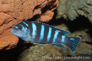 Unidentified African cichlid fish
