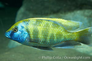 Unidentified cichlid fish fish., natural history stock photograph, photo id 11008