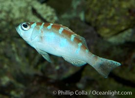 Unidentified cichlid fish., natural history stock photograph, photo id 11019