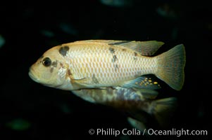 Unidentified cichlid fish