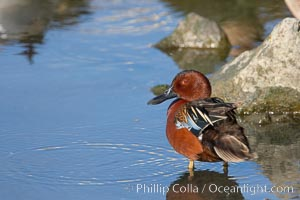 Cinnamon teal, male, Anas cyanoptera, Upper Newport Bay Ecological Reserve, Newport Beach, California