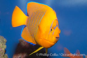 Juvenile Clarion angelfish., Holacanthus clarionensis, natural history stock photograph, photo id 12899