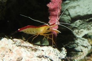 Cleaner shrimp, Lysmata amboinensis
