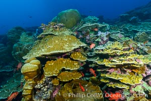 Clipperton Island coral reef, Porites sp. Clipperton Island, France, Porites lobata, Porites arnaudi, natural history stock photograph, photo id 32988