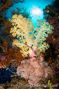Closeup view of  colorful dendronephthya soft corals, reaching out into strong ocean currents to capture passing planktonic food, Fiji, Dendronephthya, Namena Marine Reserve, Namena Island