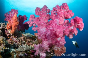 Closeup view of  colorful dendronephthya soft corals, reaching out into strong ocean currents to capture passing planktonic food, Fiji, Dendronephthya, Vatu I Ra Passage, Bligh Waters, Viti Levu Island
