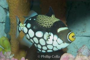 Clown triggerfish., Balistoides conspicillum, natural history stock photograph, photo id 07840