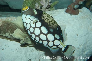 Clown triggerfish, Balistoides conspicillum