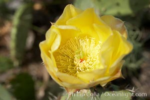 Coast prickly pear cactus in bloom, Batiquitos Lagoon, Carlsbad, Opuntia littoralis