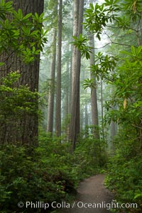 A walking path through Lady Bird Johnson Grove, Redwood National Park.  The coastal redwood, or simply &#39;redwood&#39;, is the tallest tree on Earth, reaching a height of 379&#39; and living 3500 years or more.  It is native to coastal California and the southwestern corner of Oregon within the United States, but most concentrated in Redwood National and State Parks in Northern California, found close to the coast where moisture and soil conditions can support its unique size and growth requirements, Sequoia sempervirens