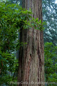 Coast redwood, or simply &#39;redwood&#39;, the tallest tree on Earth, reaching a height of 379&#39; and living 3500 years or more.  It is native to coastal California and the southwestern corner of Oregon within the United States, but most concentrated in Redwood National and State Parks in Northern California, found close to the coast where moisture and soil conditions can support its unique size and growth requirements, Sequoia sempervirens, Redwood National Park