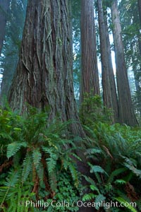 Giant redwood, Lady Bird Johnson Grove, Redwood National Park.  The coastal redwood, or simply 'redwood', is the tallest tree on Earth, reaching a height of 379' and living 3500 years or more.  It is native to coastal California and the southwestern corner of Oregon within the United States, but most concentrated in Redwood National and State Parks in Northern California, found close to the coast where moisture and soil conditions can support its unique size and growth requirements. Redwood National Park, California, USA, Sequoia sempervirens, natural history stock photograph, photo id 25806