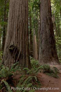 Giant redwood, Stout Grove, Redwood National Park.  The coastal redwood, is the tallest tree on Earth, reaching a height of 379&#39; and living 3500 years or more.  It is native to coastal California and the southwestern corner of Oregon within the United States, but most concentrated in Redwood National and State Parks in Northern California, found close to the coast where moisture and soil conditions can support its unique size and growth requirements, Sequoia sempervirens