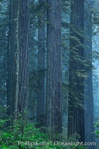 Giant redwood, Lady Bird Johnson Grove, Redwood National Park.  The coastal redwood, or simply 'redwood', is the tallest tree on Earth, reaching a height of 379' and living 3500 years or more.  It is native to coastal California and the southwestern corner of Oregon within the United States, but most concentrated in Redwood National and State Parks in Northern California, found close to the coast where moisture and soil conditions can support its unique size and growth requirements, Sequoia sempervirens