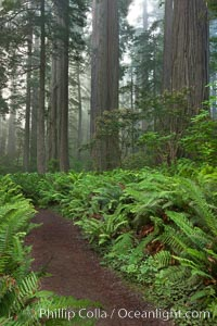 Shaded path through a forest of giant redwood trees, Lady Bird Johnson Grove, Redwood National Park.  The coastal redwood, or simply &#39;redwood&#39;, is the tallest tree on Earth, reaching a height of 379&#39; and living 3500 years or more.  It is native to coastal California and the southwestern corner of Oregon within the United States, but most concentrated in Redwood National and State Parks in Northern California, found close to the coast where moisture and soil conditions can support its unique size and growth requirements, Sequoia sempervirens