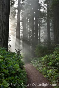 Shaded path through a forest of giant redwood trees, Lady Bird Johnson Grove, Redwood National Park.  The coastal redwood, or simply 'redwood', is the tallest tree on Earth, reaching a height of 379' and living 3500 years or more.  It is native to coastal California and the southwestern corner of Oregon within the United States, but most concentrated in Redwood National and State Parks in Northern California, found close to the coast where moisture and soil conditions can support its unique size and growth requirements, Sequoia sempervirens