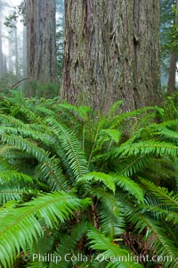 Ferns grow below coastal redwood and Douglas Fir trees, Lady Bird Johnson Grove, Redwood National Park.  The coastal redwood, or simply 'redwood', is the tallest tree on Earth, reaching a height of 379' and living 3500 years or more.  It is native to coastal California and the southwestern corner of Oregon within the United States, but most concentrated in Redwood National and State Parks in Northern California, found close to the coast where moisture and soil conditions can support its unique size and growth requirements. Redwood National Park, California, USA, Sequoia sempervirens, natural history stock photograph, photo id 25815
