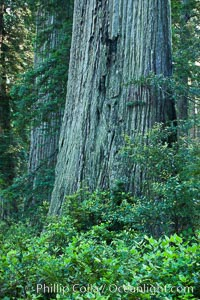 Coast redwood, or simply 'redwood', the tallest tree on Earth, reaching a height of 379' and living 3500 years or more.  It is native to coastal California and the southwestern corner of Oregon within the United States, but most concentrated in Redwood National and State Parks in Northern California, found close to the coast where moisture and soil conditions can support its unique size and growth requirements, Sequoia sempervirens, Redwood National Park