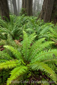 Ferns grow below coastal redwood and Douglas Fir trees, Lady Bird Johnson Grove, Redwood National Park.  The coastal redwood, or simply 'redwood', is the tallest tree on Earth, reaching a height of 379' and living 3500 years or more.  It is native to coastal California and the southwestern corner of Oregon within the United States, but most concentrated in Redwood National and State Parks in Northern California, found close to the coast where moisture and soil conditions can support its unique size and growth requirements, Sequoia sempervirens