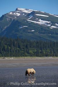 Coastal brown bear, Ursus arctos, Lake Clark National Park, Alaska