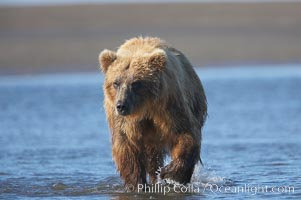 Coastal brown bear forages for salmon returning from the ocean to Silver Salmon Creek.  Grizzly bear. Silver Salmon Creek, Lake Clark National Park, Alaska, USA, Ursus arctos, natural history stock photograph, photo id 19190